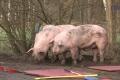 2018-02-06 10517 Goldenstedt Schweinetransporter (NWM-TV) 16