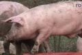 2018-02-06 10517 Goldenstedt Schweinetransporter (NWM-TV) 20